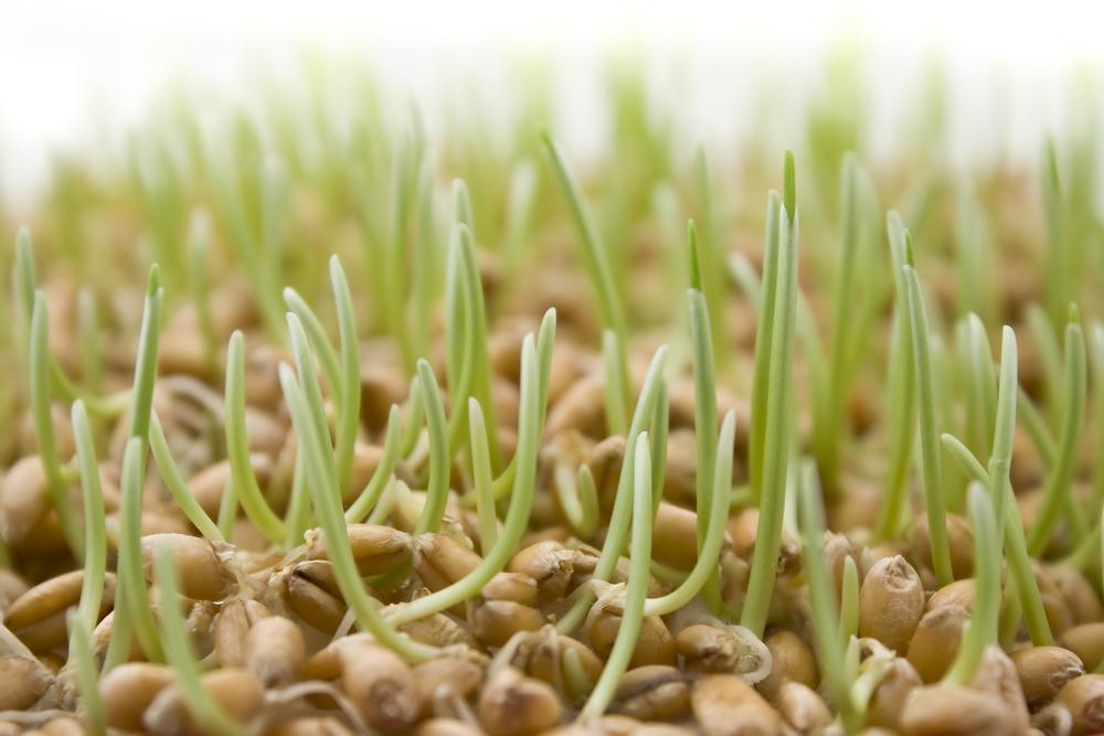 Сколько проращивать пшеницу в домашних условиях